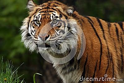 Sourire de tigre de Sumatran
