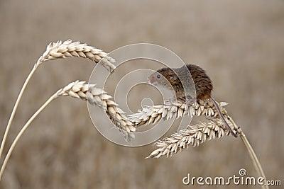 Souris de récolte, minutus de Micromys