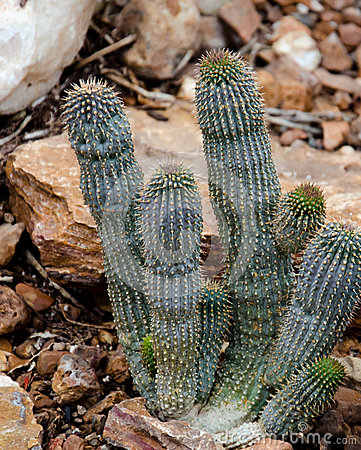 South African Cactus