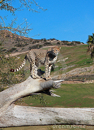 South African Cheetah