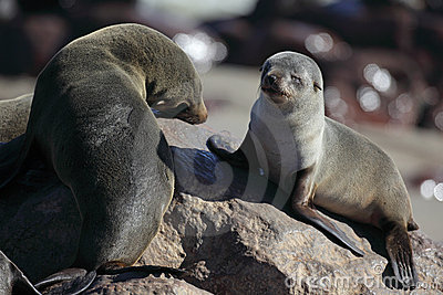 South African fur seal pup and adult