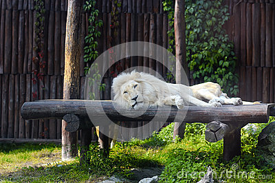 South African lion rests