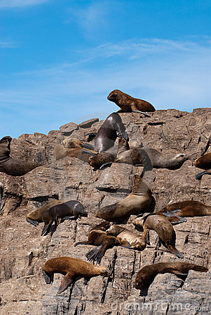 South American Fur Seal Colony in Ushuaia
