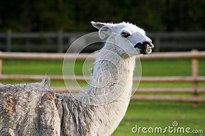 South american lama in a farm