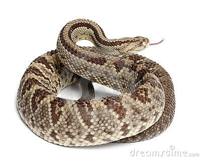 South American rattlesnake - Crotalus durissus