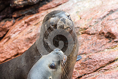 South American Sea lions relaxing on rocks of the Ballestas Islands in the Paracas National park. Peru. Flora and fauna