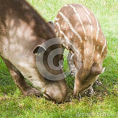 Free South American Tapir Royalty Free Stock Image - 15561846
