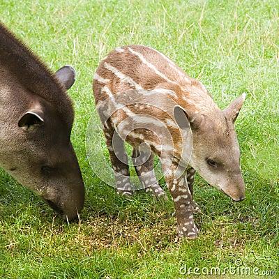 Free South American Tapir Royalty Free Stock Photo - 15561875