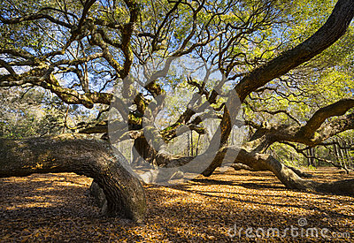 South Carolina Lowcountry Angel Oak Tree Charleston SC Nature Scenic
