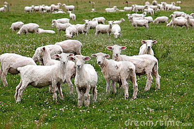 South Island Sheep