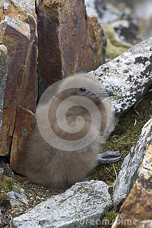South Polar skua chick who hid among the rocks