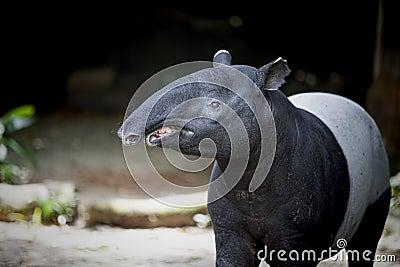 Southeast Asian Tapir