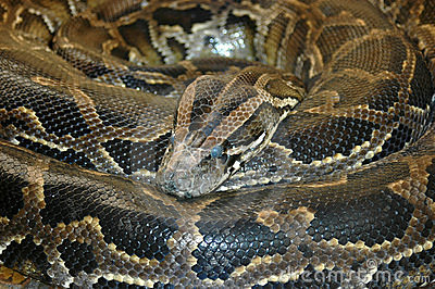 Stock Photography: Southern African Rock Python snake.