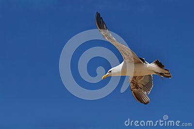 Southern Black-Backed Seagull, New Zealand