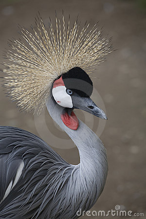 Free Southern Crowned Crane Stock Photo - 3276810