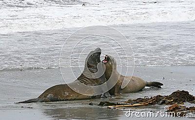 Southern elephant seals (Mirounga leonina)