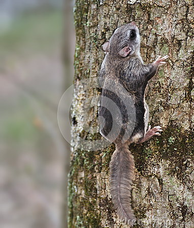 Free Southern Flying Squirrel Royalty Free Stock Photo - 30516415