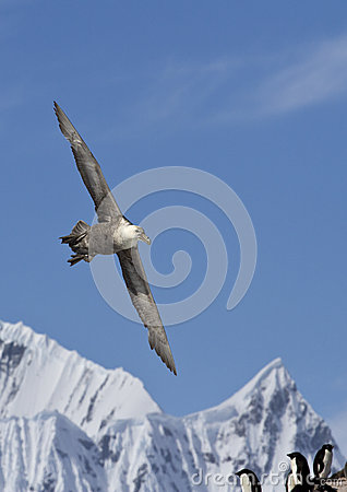 Southern giant petrel soaring mountains in the background of the