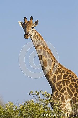 Southern Giraffe, (Giraffa camelopardalis), South Africa