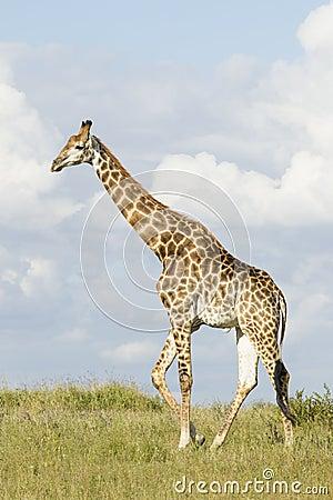 Giraffe videos, photos and facts - Giraffa camelopardalis   ARKive