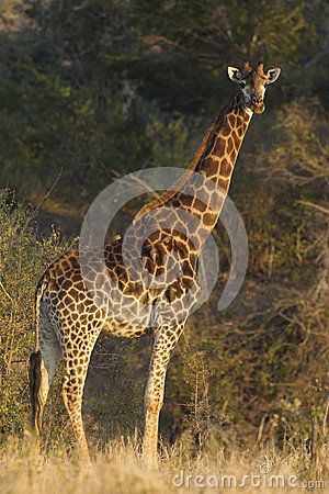 Southern Giraffe, South Africa