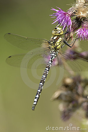 Southern Hawker Dragonfly - Aeshna Cyanea Stock Photo - Image: 10951360