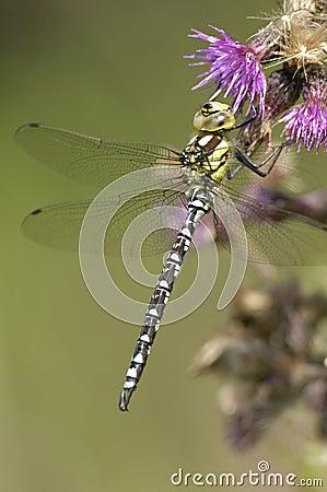 Southern Hawker Dragonfly - Aeshna cyanea