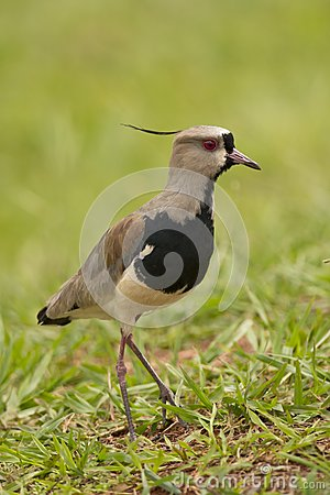 Free Southern Lapwing Royalty Free Stock Photos - 28668508
