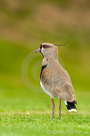 Free Southern Lapwing In A Field Royalty Free Stock Photos - 15911188