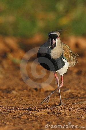 Free Southern Lapwing In Panamà Royalty Free Stock Photography - 10167427