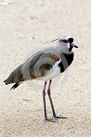 Free Southern Lapwing, Vanellus Chilensis Stock Photos - 30131643