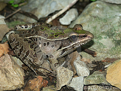 Southern Leopard Frog (Rana sphenocephala)
