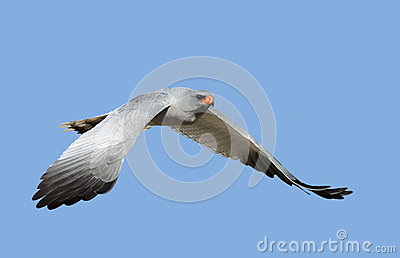 Southern Pale Chanting Goshawk in flight