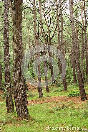 Southern pine tree wood