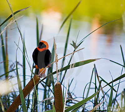 Southern Red Bishop at the Dam
