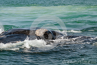 Southern right whale eye