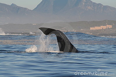 Southern right whale lobtailing