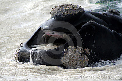 Southern Right Whale Mouth Royalty Free Stock Image ...