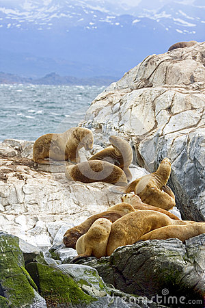 Free Southern Sea Lions, Tierra Del Fuego, Ushuaia, Argentina Stock Images - 40689314