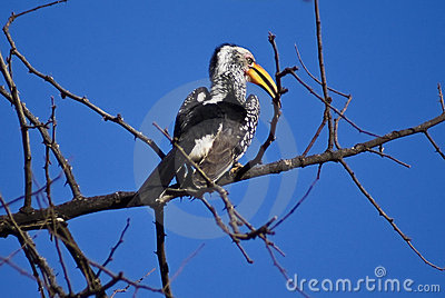 The Southern Yellow-billed Hornbill