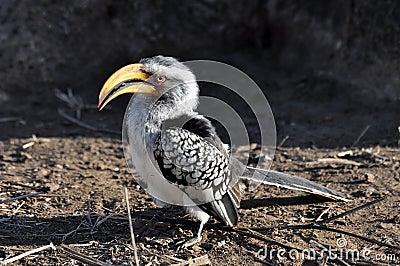Southern Yellowbilled Hornbill