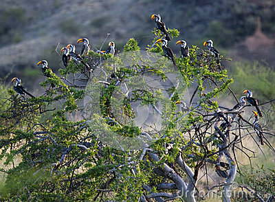 Southern Yellowbilled Hornbill's; Tockus Leucomelas; Royalty Free Stock Images - Image: 29048879