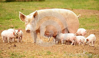 Sow with feeding piglets