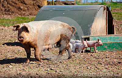 Sow pig and piglets