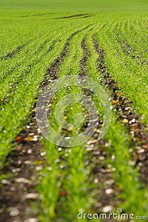 Sowed field