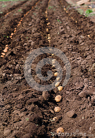 Sowing Potato, Process of Seeding.