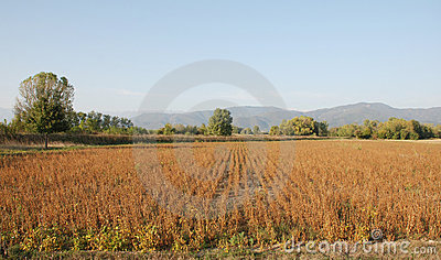 Soya Bean Field In Autumn
