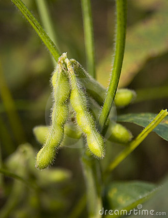 Free Soybean Stock Photography - 11750812