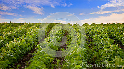 Soybean field, low angle view