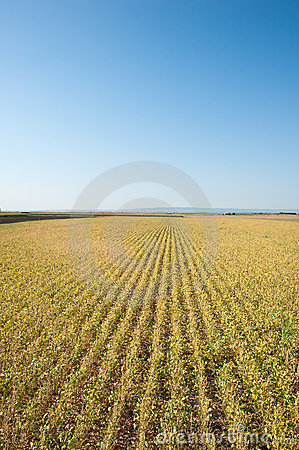 Soybean fields